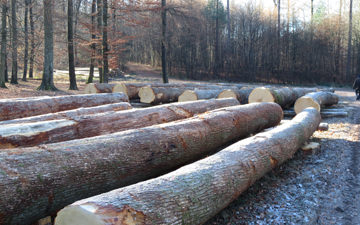 Logs of Oak, ready for the auction